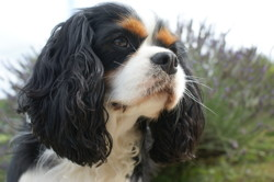 Iliade, chien Cavalier King Charles Spaniel