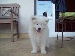 Ilian, chien Samoyède