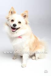 Ilina, chien Spitz allemand
