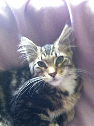 Ilios , chat Maine Coon