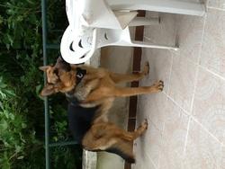 Ilios, chien Berger allemand