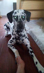 Ilios, chien Dalmatien
