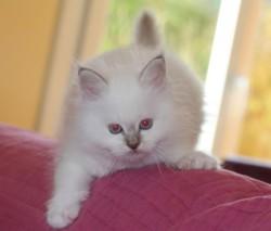 Ilios, chat Birman
