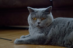 Ilka, chat Chartreux