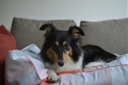 Ilka, chien Berger des Shetland