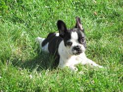 Ilko, chien Bouledogue français