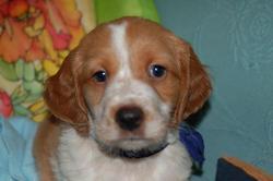 Ilko, chien Épagneul breton
