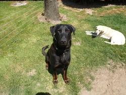 Ilko, chien Beauceron