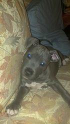 Illa , chien American Staffordshire Terrier