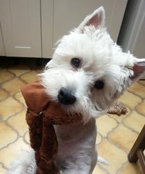 Illico, chien West Highland White Terrier