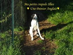 Illies, chien Pointer anglais