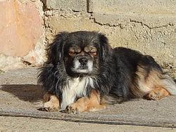 Illlak-Iwa- Falko -Java, chien Épagneul tibétain