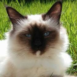 Illona, chat Birman