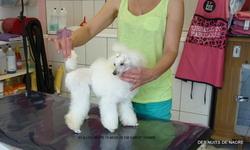 Illou White, chien Caniche