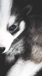 Illusio, chien Husky sibérien