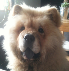 Illy, chien Chow-Chow