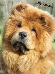 Illy'S The First, chien Chow-Chow