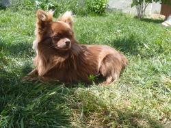 Ilo Du Royaume D' Odin, chien Chihuahua