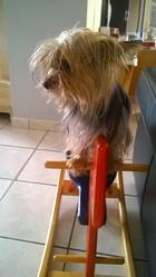 Iloa, chien Yorkshire Terrier