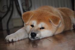 Iloé, chien Akita Inu