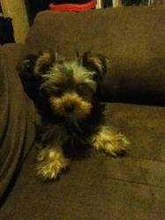 Ilona, chien Yorkshire Terrier