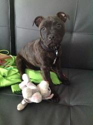 Ilona , chien Staffordshire Bull Terrier