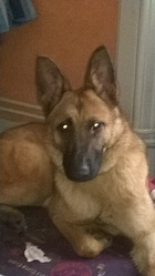 Ilona , chien Berger belge