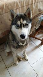 Ilona, chien Husky sibérien