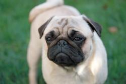Ilona, chien Carlin