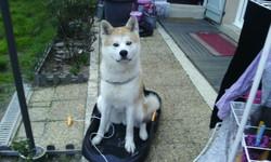 Ilona, chien Akita Inu