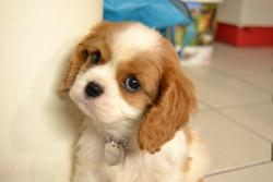 Ilona, chien Cavalier King Charles Spaniel