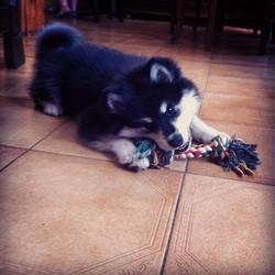 Ilonpilke, chien Chien finnois de Laponie