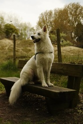 Iloo, chien Berger blanc suisse