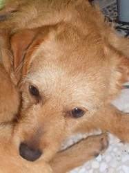 Ilot, chien Basset fauve de Bretagne
