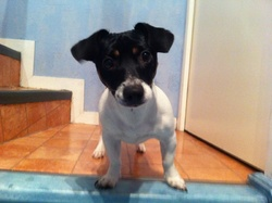 Ilou, chien Jack Russell Terrier