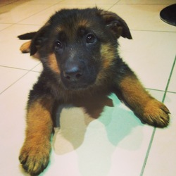 Ilou, chien Berger allemand