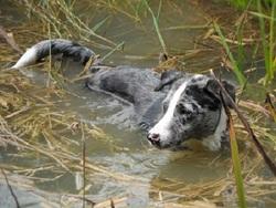 Ilou, chien Border Collie