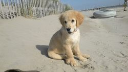 Ilou, chien Golden Retriever