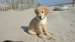Ilou, chien Golden Retriever