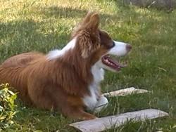 Ilouane, chien Berger australien