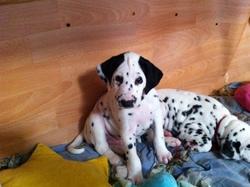 Ilouky, chien Dalmatien
