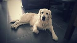 Ilouna, chien Golden Retriever