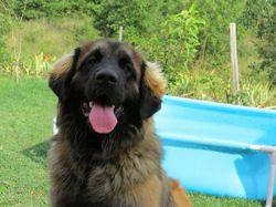 Ilouna, chien Leonberger