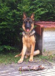 Ilove, chien Berger allemand