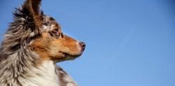 Ilow, chien Berger australien