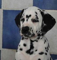 Ilow , chien Dalmatien