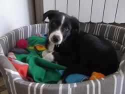 Ilton, chien Border Collie