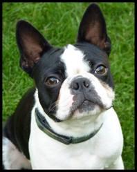 Ilton, chien Terrier de Boston