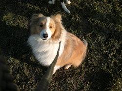 Ilu, chien Berger des Shetland