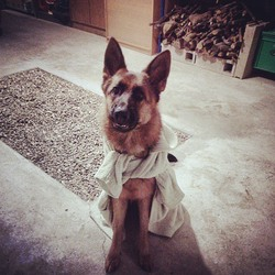 Ilya, chien Berger allemand